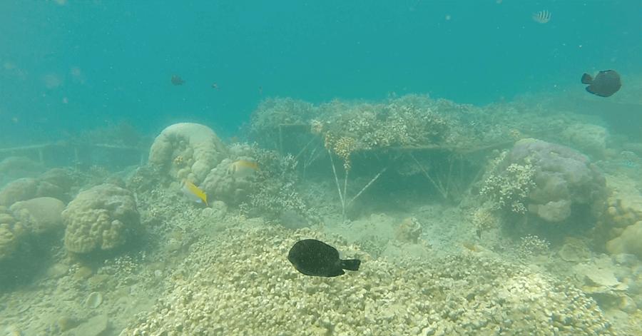 snorkeling lombok black fish