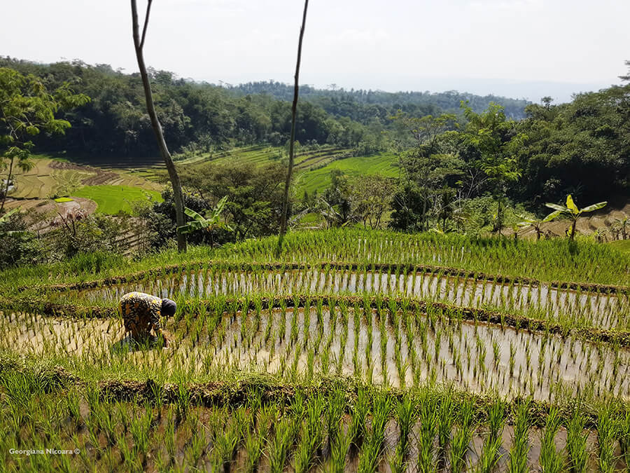 working on Rice Fields Indonesia