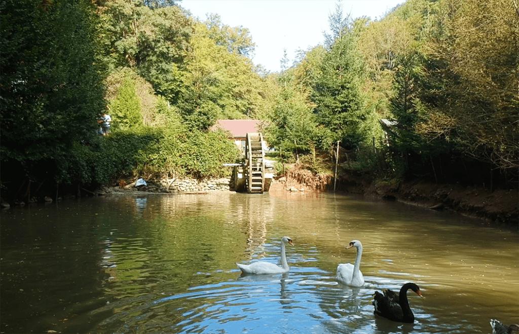 patravaria soimus swans
