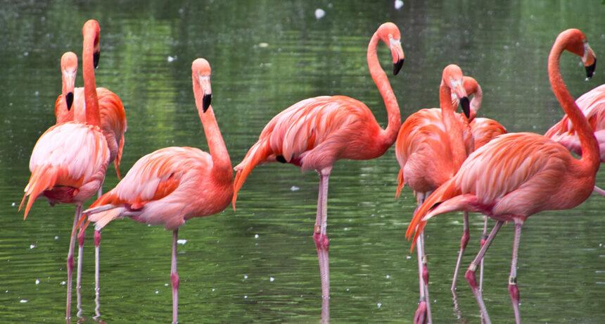 see flamingos curacao